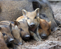 Wild piglets Royalty Free Stock Photo