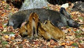 Wild Piglets Feeding Themselves Stock Photos