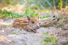 Wild piglets resting in shade on hot summer day. Royalty Free Stock Photography