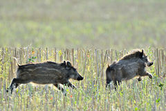 Wild piglets running. Two wild young piglets running in the field Stock Photo