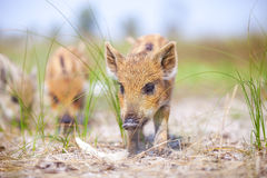Wild piglets standing on a path. Stock Images