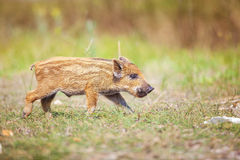 Wild piglets on a summer day. Stock Photos