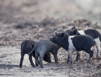 Wild piglets in wetlands. Wild piglets in Florida wetlands Royalty Free Stock Photos