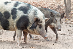 Wild pigs. A male (back) and female (front) wild pigs raised in the zoo Royalty Free Stock Images