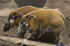 wild pigs Arkivfoto