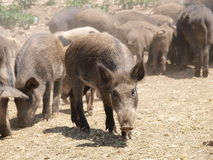 Wild pigs. A herd of wild pigs feeding outdoors stock images
