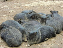 Wild pigs Stock Images
