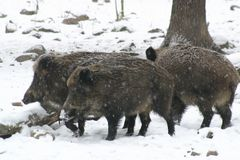 Wild pigs Royalty Free Stock Photography