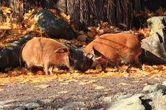 Wild pigs in the autumn Stock Photos