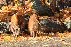 Wild pigs in the autumn Royalty Free Stock Photography
