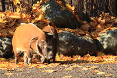 Wild pigs in the autumn Royalty Free Stock Images