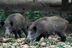 Wild pigs eating. Photo of two grazing wild boars Stock Photos