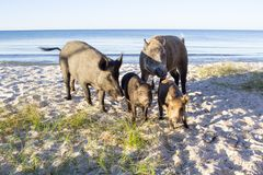 Wild pigs and two piglets on sea beach sands. Wild pigs family walk on sea beach sands Stock Photo