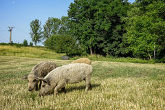 Wild pigs on the farm. Animals close-up photography Royalty Free Stock Photo