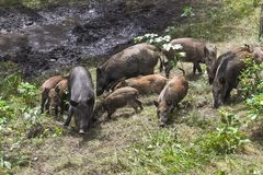 Wild pigs in the forest Royalty Free Stock Image