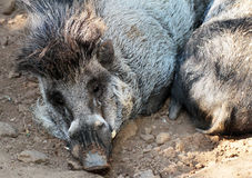 Wild Pigs. Hairy Jungle Hogs Laying In Sand Royalty Free Stock Image