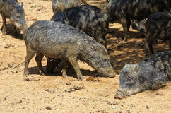 Wild pigs in the jungle. Mob of wild smelly pigs in the Amazon jungle Stock Photos