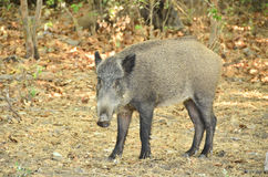 Wild Pigs in Menderes Deltası Milli Parkı Turkey. Güzelçamlı (locally also called Çamlı in short) is a sea-side town with own municipality in the district Royalty Free Stock Image