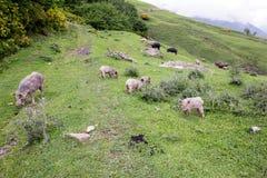 Wild Pigs in the mountains, Georgia Stock Photos