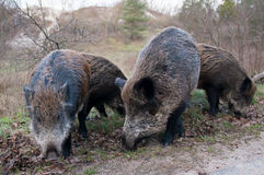 Wild pigs Stock Photo