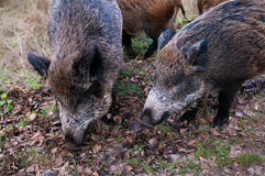 Wild pigs Royalty Free Stock Photo