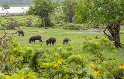 Wild pigs in natural habitat Royalty Free Stock Images