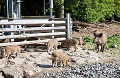 Wild pigs in nature reserve royalty free stock photo