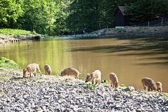 Wild pigs in nature reserve stock photos