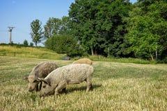 Free Wild Pigs On The Farm. Royalty Free Stock Photo - 91411795