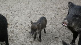 Wild pigs stock video footage