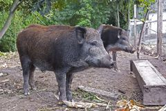 Wild pigs in the public forest enclosure are kept for reproduction and subsequent release into the wild stock images