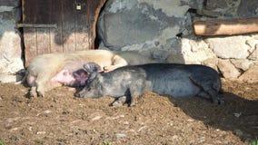 Wild pigs sleep under the porch of the mountain farmhouse stock photo