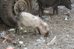 Wild pigs on street Royalty Free Stock Photography