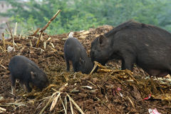 Wild pigs on street feeding in trash stock photos