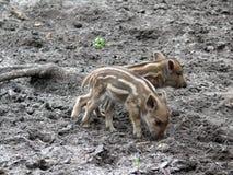 wild pigs tre Royaltyfria Foton