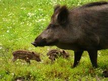 wild pigs tre Arkivfoton