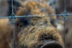 wild pigs royaltyfria bilder