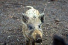 wild pigs arkivbild