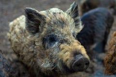 wild pigs royaltyfria foton
