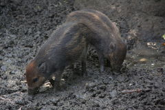 Wild pigs Stock Photography