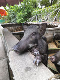 Wild pigs in a zoo Stock Photo