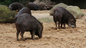 Wild pigs at the zoo. Visayan warty pigs at The Berlin Zoological Garden stock footage