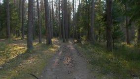 Wild pijnboombos met groen mos onder de bomen stock video