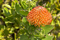 Wild pincushion plant Stock Images