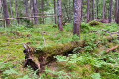 Wild pine forest Stock Images