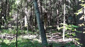 Wild pine forest pan in morning stock video footage