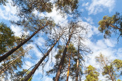 Wild pine trees above blue sky with white clouds Stock Photography