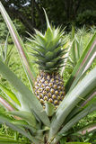 Wild pineapple Stock Images