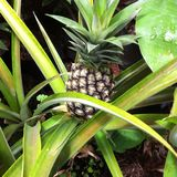 Wild Pineapple royalty free stock photography