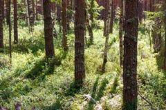 Wild pinery bos met bosbes royalty-vrije stock afbeelding